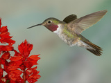 Broad-Tailed Hummingbird (Selasphorus Platycercus) Male Flying Photographie par Jack Milchanowski