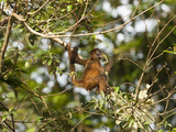 Geoffroy's Spider Monkey (Ateles Geoffroyi) Tortuguero National Park Photographic Print by Mary Ann McDonald