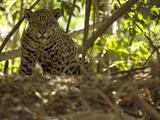 Jaguar (Panthera Onca) Along a Riverbank in Brazil's Pantanal Wetlands Photographic Print by Joe McDonald