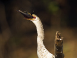 Anhinga (Anhinga Anhinga) Eating Fish, Pantanal, Brazil, South America Photographic Print by Joe McDonald