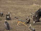 Black-Backed Jackal (Canis Mesomelas) Chasing Vultures Away from Kill, Masai Mara Game Reserve Photographic Print by Mary Ann McDonald
