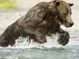 Brown Bear (Ursus Arctos) in Katmai Np Running in a Stream Fishing for Pink Salmon During the Fa… Photographic Print by Joe McDonald