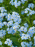 Forget-Me-Not Flowers (Myosotis Alpestris), Alaska State Flower Photographic Print by Joe McDonald