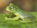 Andes Giant Glass Frog Head (Centrolene Andinum), Colombia Photographic Print by Thomas Marent