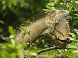 Iguana (Iguana Iguana) Climbing in Tree, Costa Rica Fotografie-Druck von Joe McDonald