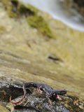 A Italian Salamander Near a Waterfall on a Little Stream in the Apennines Photographic Print by Fabio Pupin