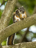 Variegated Squirrel (Sciurus Variegatoides), Costa Rica Photographic Print by Joe McDonald