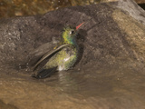 Broad-Billed Hummingbird Male (Cynanthus Latirostris) Bathing in a Small Water Drip Birdbath, USA Photographic Print by Charles Melton