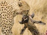 Cheetah (Acinonyx Jubatus) with Prey in its Mouth Photographic Print by Joe McDonald