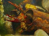 A Red Swamp Crayfish (Procambarus Clarcki) Hiding in a Rusty Can Reprodukcja zdjęcia autor Fabio Pupin