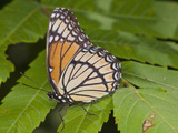 Monarch Butterfly (Danaus Plexippus) Photographic Print by Robert Servranckx