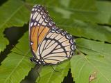 Monarch Butterfly (Danaus Plexippus) Photographic Print by Robert Servranckx