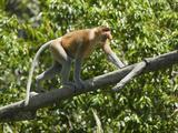 Proboscis Monkey (Nasalis Larvatus) Climbing a Branch, Borneo, Southeast Asia Photographic Print by Joe McDonald