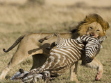 Male African Lion (Panthera Leo) with a Zebra Kill in the Masai Mara Game Reserve, Kenya Photographic Print by Joe McDonald