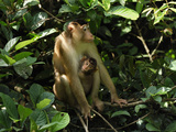 Pig-Tailed Macaque with a Baby (Macaca Nemestrina), Sabah, Borneo, Malaysia Photographic Print by Thomas Marent