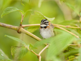 Rufous-Collared Sparrow Male (Zonotrichia Capensis), Bosque De Paz, Costa Rica Photographic Print by Mary Ann McDonald