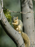 Fox Squirrel (Sciurus Niger) Holding a Nut, Montana, USA Photographic Print by Neal Mischler