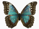 Adult Female Blue Morpho Butterfly (Morpho Amathonte) the Female Is Partially Blue with Dark Mar… Photographic Print by Jeffrey Miller