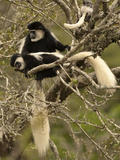 Black and White Colobus Monkeys (Colobus Guereza) in Tree, Mount Kenya National Park, Kenya, Africa Photographic Print by Joe McDonald