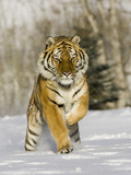 A Siberian Tiger Running in the Snow (Panthera Tigris Altaica), an Endangered Species Reprodukcja zdjęcia autor Joe McDonald