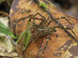 Wolf Spider with Grasshopper Prey (Lycosidae), San Cipriano Reserve, Cauca, Colombia Photographic Print by Thomas Marent