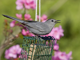 Gray Catbird (Dumetella Carolinensis) at Feeder, New Hampshire, USA Photographic Print by Garth McElroy