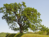 Oregon White Oak (Quercus Garryana) in an Oak Savanna of Southwest Oregon, USA Photographic Print by Robert & Jean Pollock