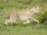 Cheetah Cub Running, East Africa Photographic Print by Joe McDonald