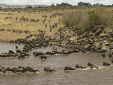 Wildebeest (Connochaetes Taurinus) During River Crossing in the Masai Mara Game Reserve, Kenya Photographic Print by Joe McDonald