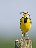 Eastern Meadowlark (Sturnella Magna), Florida, USA Photographic Print by Leroy Simon