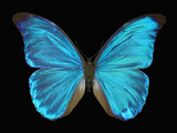 Male Adult Blue Morpho Butterfly (Morpho Amathonte) Photographic Print by Jeffrey Miller