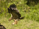 Tawny Eagle Diving at Prey (Aquila Rapax), Masai Mara, Kenya, Africa Photographic Print by Joe McDonald