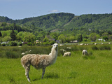 Llama (Lama Glama) Guarding Sheep in a Pasture, Southwest Oregon, USA Photographic Print by Robert & Jean Pollock