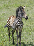 Young Burchell's or Common Zebra, Equus Burchellii, on the Savanna of East Africa Photographic Print by Arthur Morris