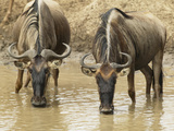 White-Bearded Wildebeests or Gnus, Connochaetes Taurinus, Drinking from a Waterhole Photographic Print by Joe McDonald