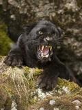 Leopard or Black Panther Snarling (Panthera Pardus) Fotografisk tryk af Joe McDonald