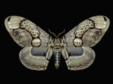 Adult Brahmeid Moth (Brahmaea Wallichii Insulata) Photographic Print by Jeffrey Miller