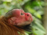 Red Bald Headed Uakari Head (Cacajao Calvus Rubicundus), Lago Preto, Peru Photographic Print by Thomas Marent