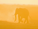 African Elephant (Loxodonta African) Walking in a Dusty Sunset, Masai Mara Game Reserve, Kenya Photographic Print by Joe McDonald