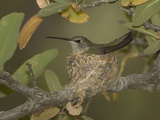 Black-Chinned Hummingbird Female (Archilochus Alexandri) on a Nest in an Oak Tree Photographic Print by Charles Melton