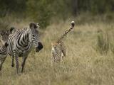 Cheetah (Acinonyx Jubatus) Chasing Zebra Photographic Print by Joe McDonald