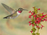 Broad-Tailed Hummingbird (Selasphorus Platycercus) Male Flying at Texas Betony (Stachys Coccinea) Reproduction photographique par Jack Milchanowski