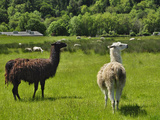 Llamas (Lama Glama) Guarding Sheep in a Pasture, Southwest Oregon, USA Photographic Print by Robert & Jean Pollock