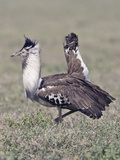 Kori Bustard Displaying (Ardeotis Kori), Africa Photographic Print by Joe McDonald