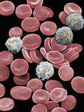 Red and White Blood Cells Red Blood Cells Take Oxygen from the Lungs Photographic Print by David Phillips