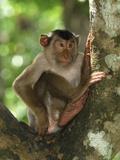 Pig-Tailed Macaque (Macaca Nemestrina), Sabah, Borneo, Malaysia Photographic Print by Thomas Marent