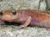 A Cave Salamander (Eurycea Lucifuga), Illinois, USA Photographic Print by Gerold & Cynthia Merker