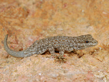 Semaphore Rock Gecko (Pristurus Rupestris), Mountains of Yemen Photographic Print by Fabio Pupin