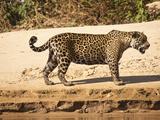Jaguar (Panthera Onca), Pantanal, Brazil Photographic Print by Mary Ann McDonald
