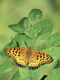 Fritillary Butterfly (Argyreus Hyperbius), Family Nymphalidae, Japan Photographic Print by Leroy Simon